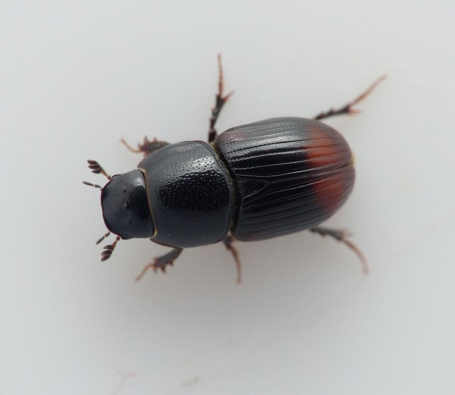 Foto/billede af Rødhalet Møgbille (Aphodius haemorrhoidalis)