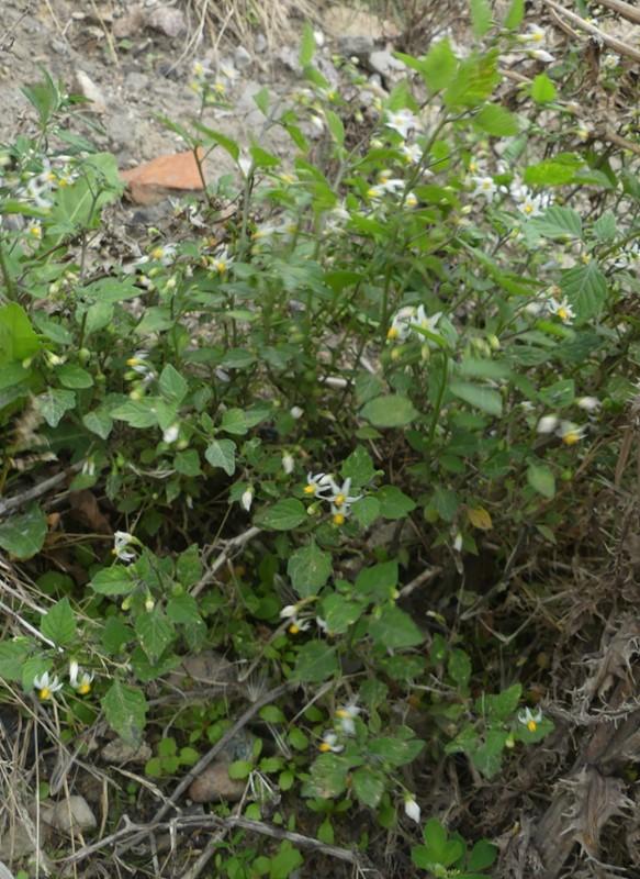 Solanum ptychantum