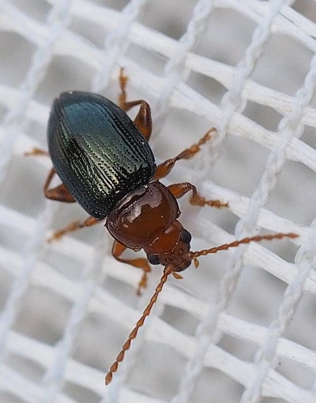 Foto/billede af Derocrepis rufipes (Derocrepis rufipes)