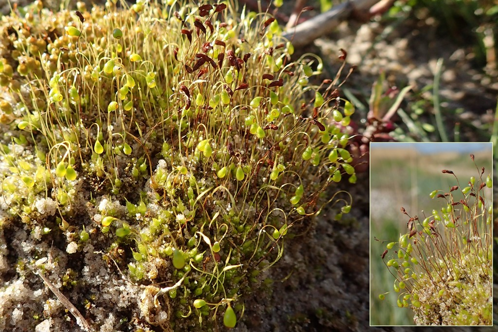 Foto/billede af Almindelig Snobørste (Funaria hygrometrica)