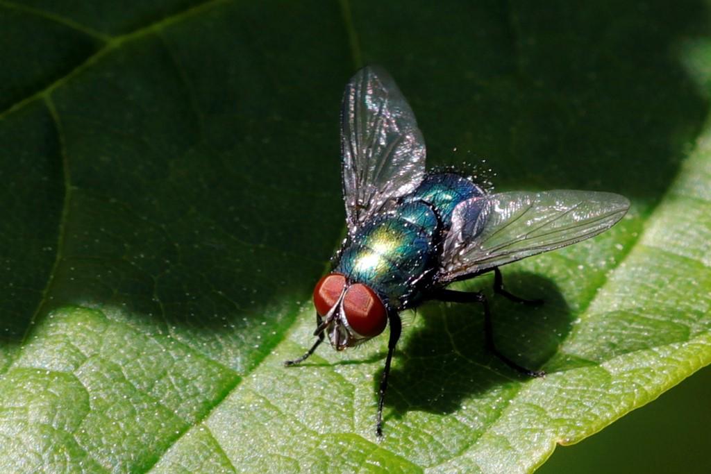 Almindelig Spyflue