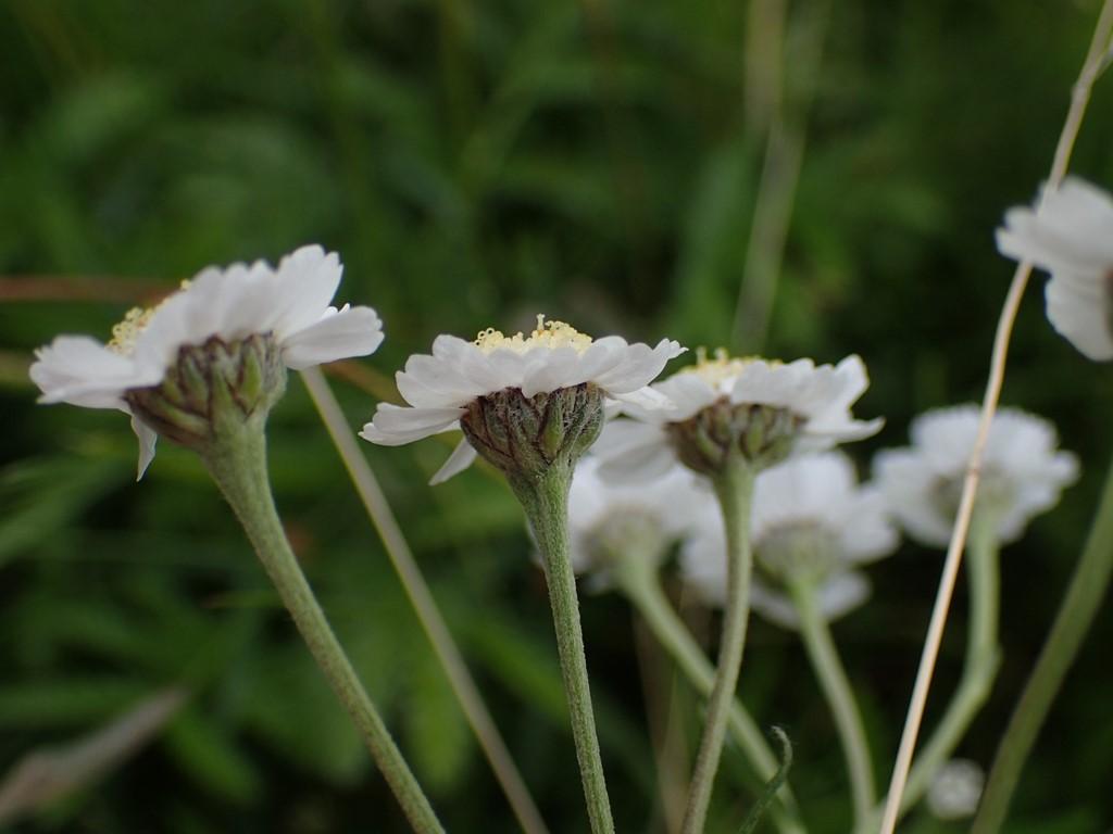 Nyse-Røllike (Achillea ptarmica)