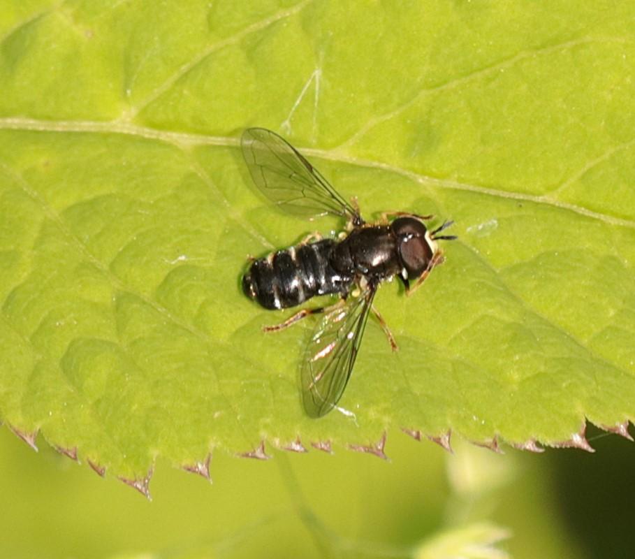 Foto/billede af Skov-Maskesvirreflue (Paragus pecchiolii)