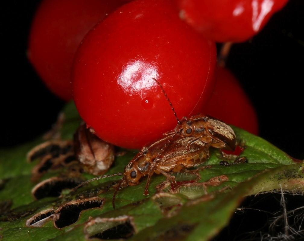 Foto/billede af Kvalkvedbladbille (Pyrrhalta viburni)