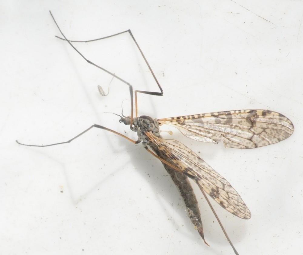 Limnophila schranki (Limnophila schranki)