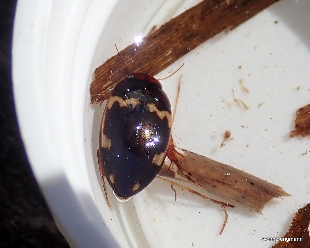 Agabus undulatus (Agabus undulatus)