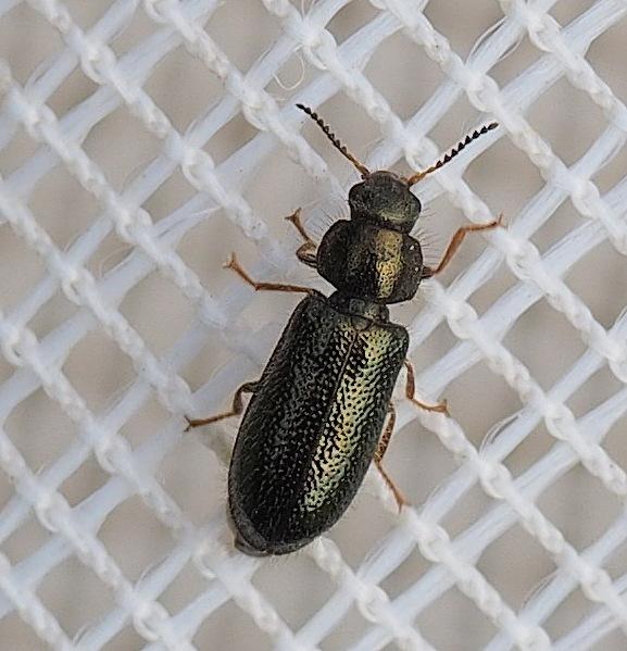 Aplocnemus nigricornis