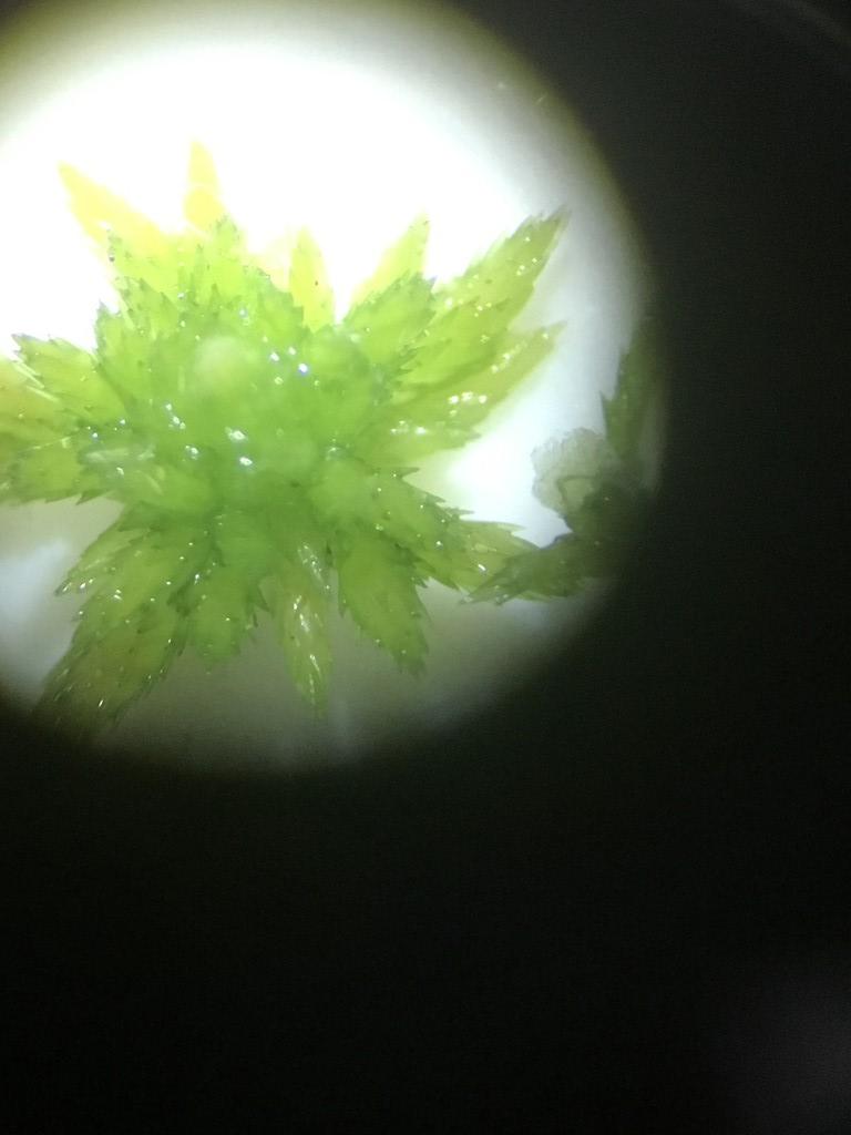 Foto/billede af Frynset Tørvemos (Sphagnum fimbriatum)