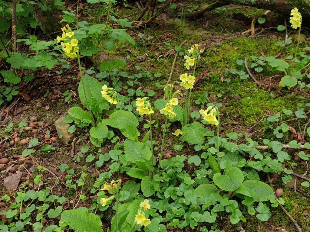 Fladkravet Kodriver (Primula elatior)