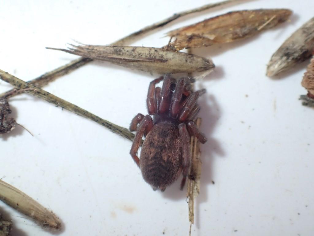 Foto/billede af Haplodrassus sp. (Haplodrassus sp.)