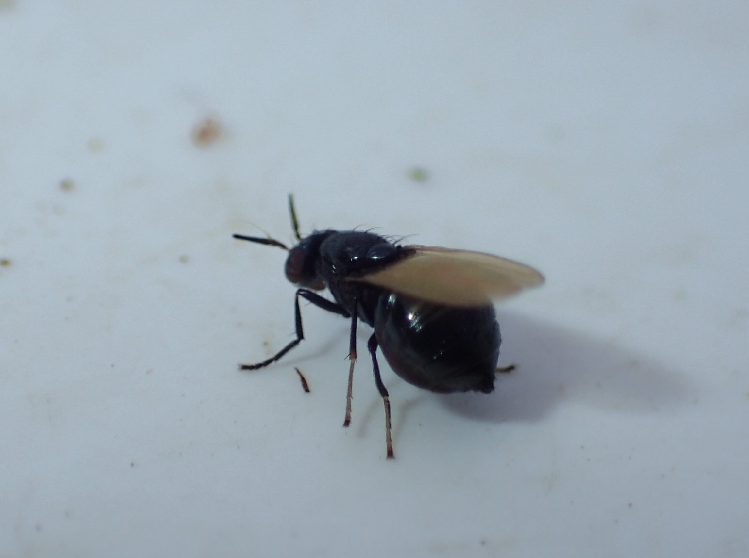 Lauxania cylindricornis (Lauxania cylindricornis)