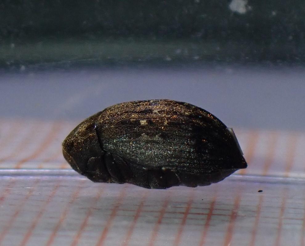 Almindelig Ødebille (Byrrhus pilula)
