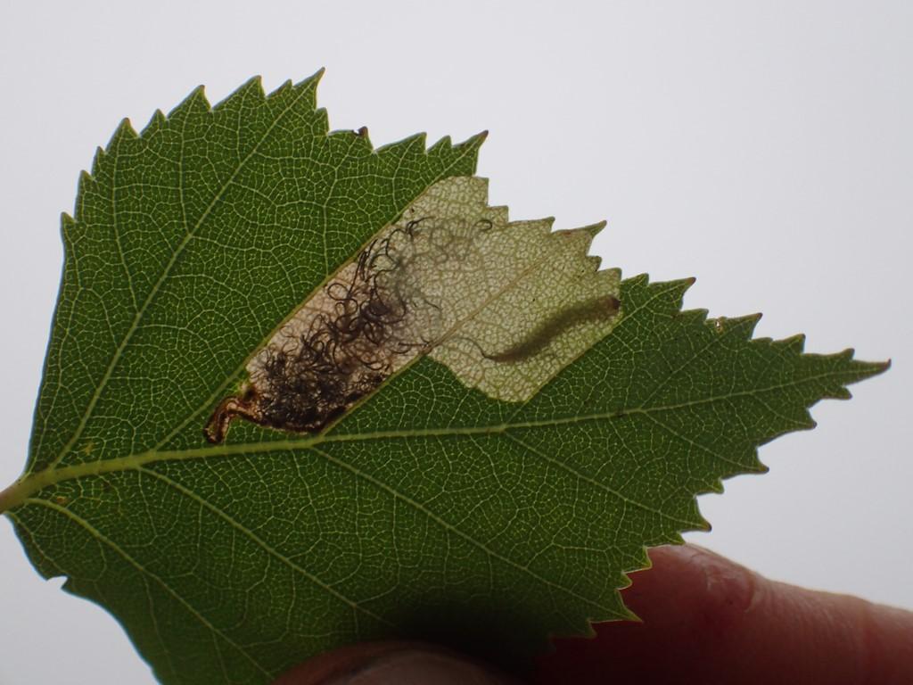 Eriocrania sparrmannella (Eriocrania sparrmannella)