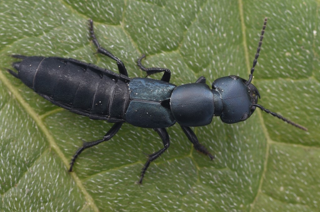 Foto/billede af Blå Kæmperovbille (Ocypus ophthalmicus)