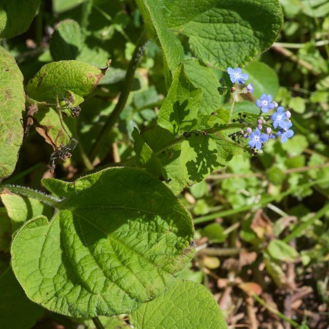 Foto/billede af Kærmindesøster (Brunnera macrophylla)