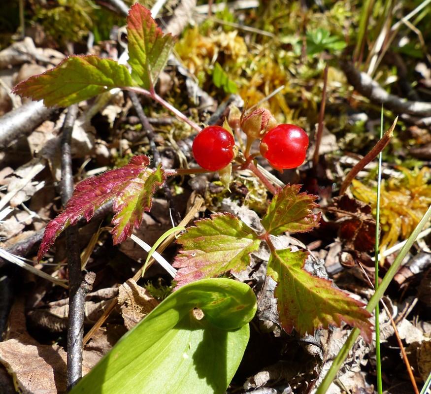 Foto/billede af Fruebær (Rubus saxatilis)