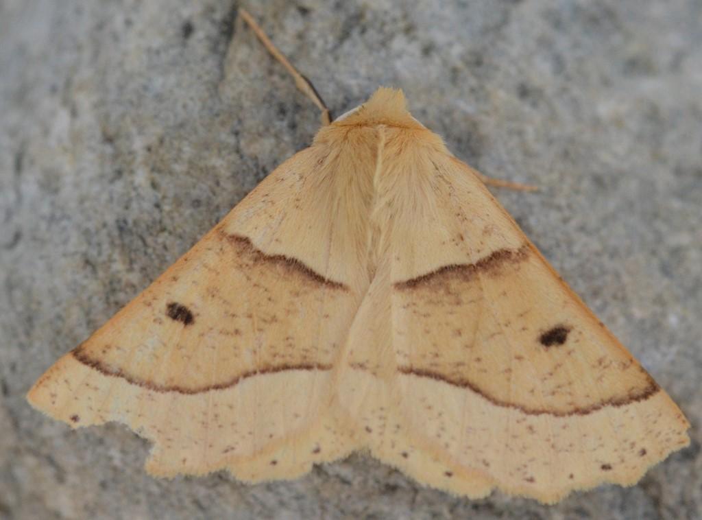 Foto/billede af Okkergul Rovmåler (Crocallis elinguaria)