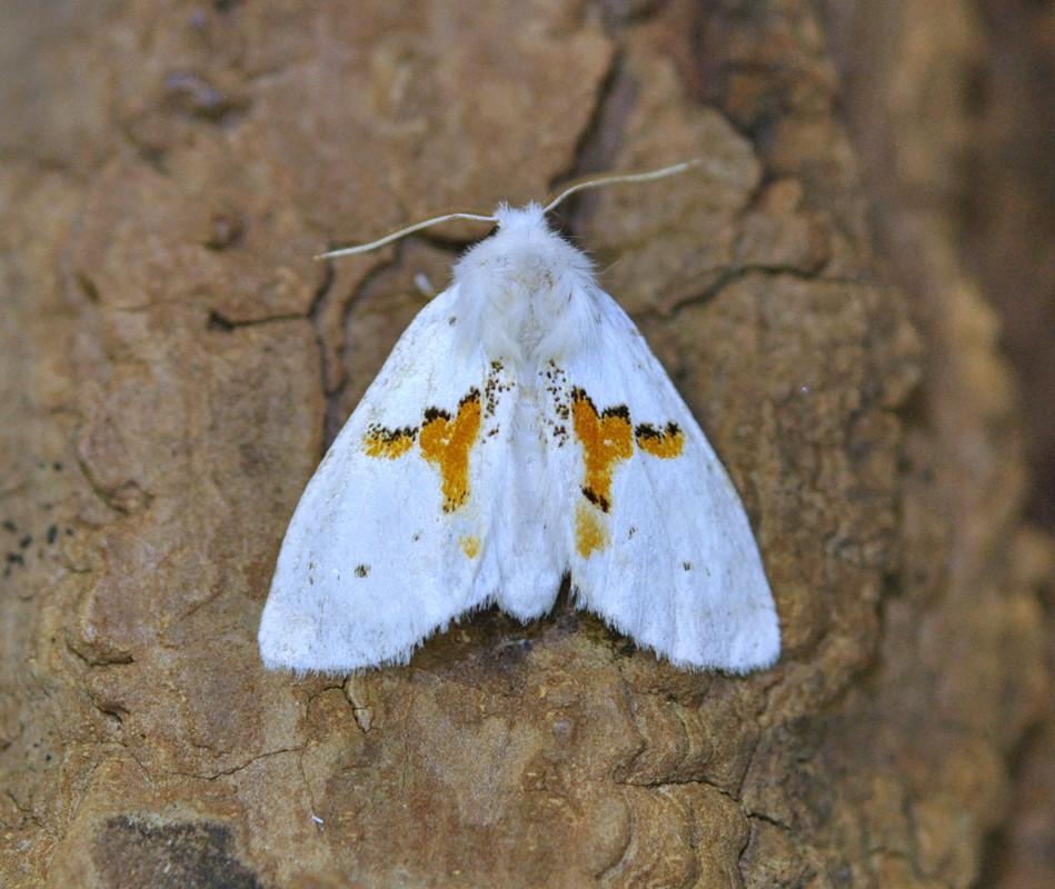 Snehvid Birkespinder (Leucodonta bicoloria)