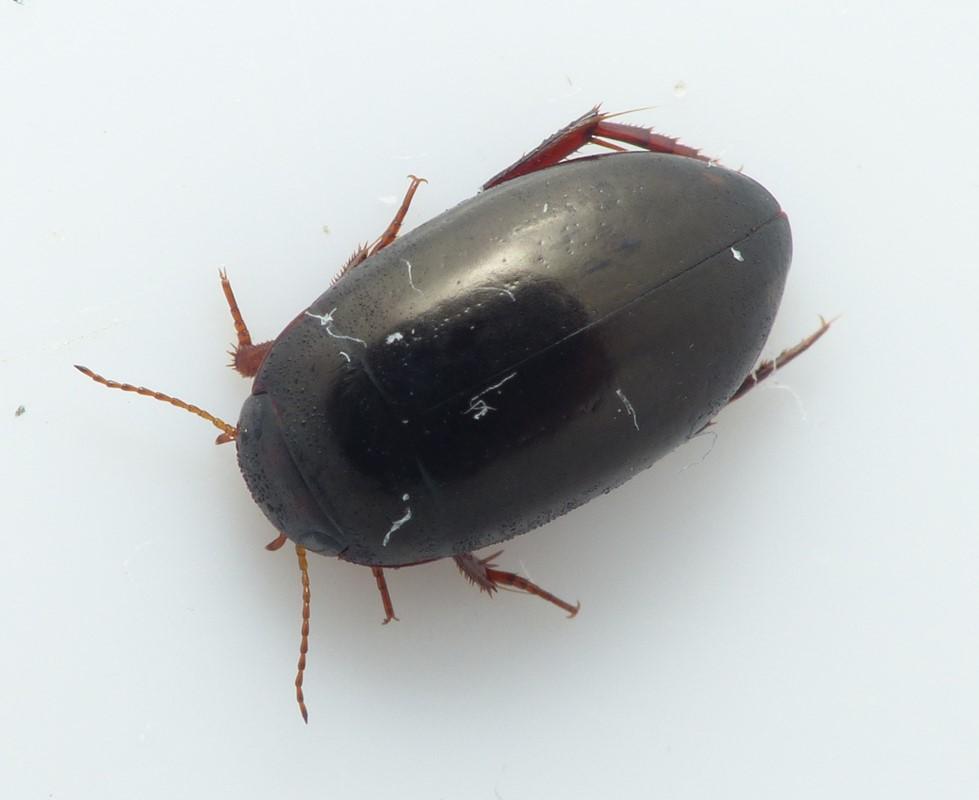 Agabus unguicularis (Agabus unguicularis)