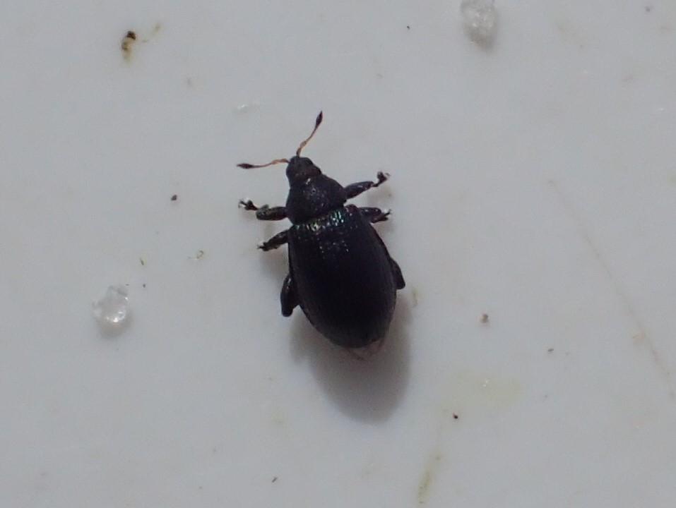 Rhamphus pulicarius