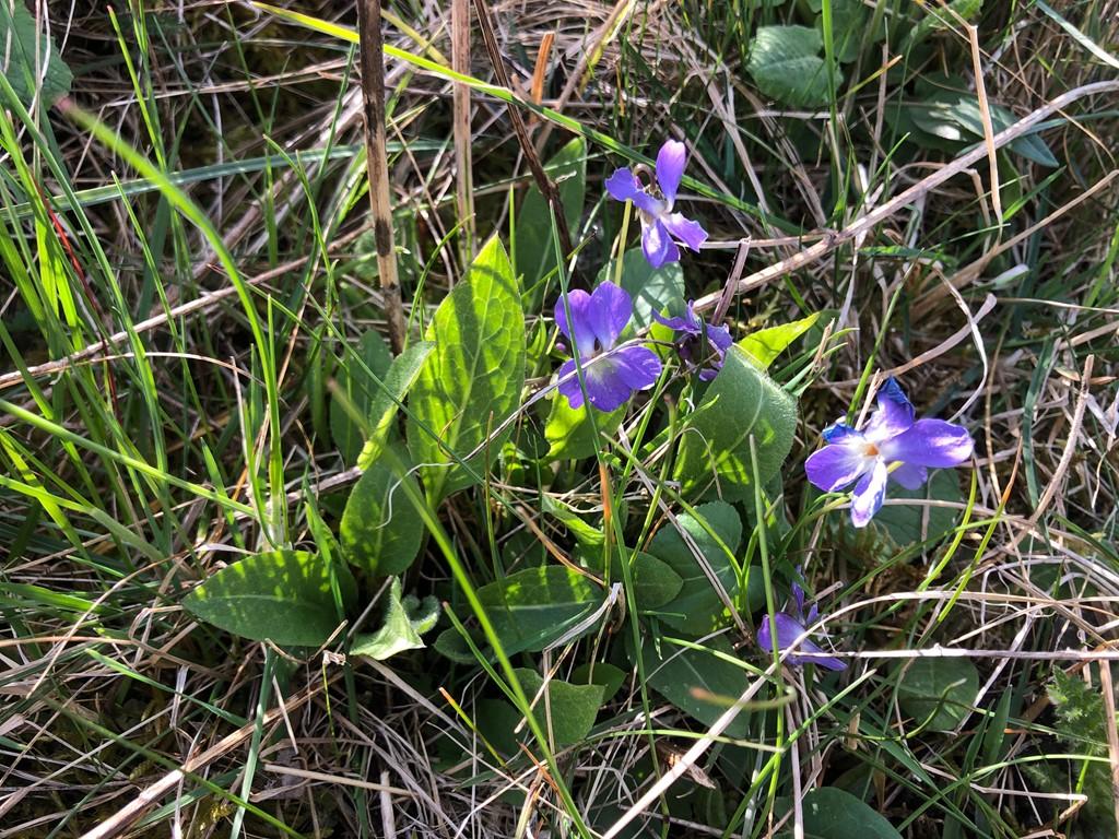 Håret Viol (Viola hirta)