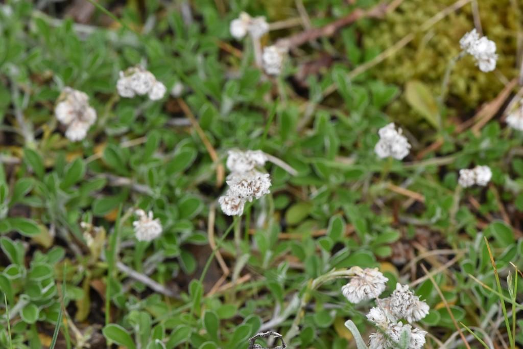 Foto/billede af Kattefod (Antennaria dioica)
