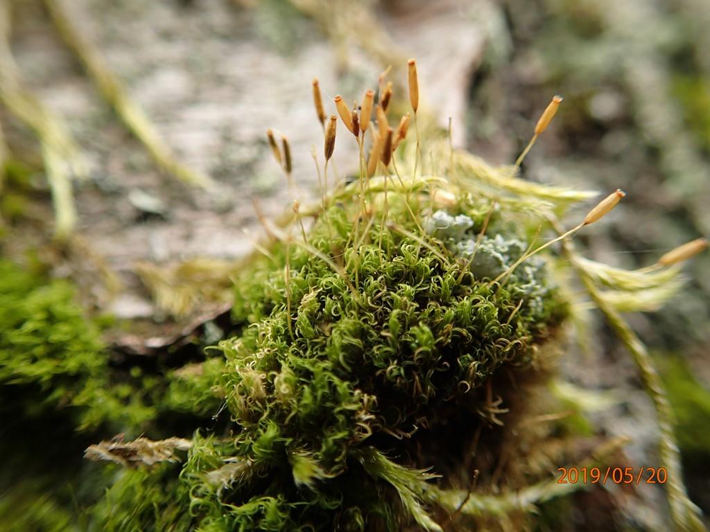 Foto/billede af Almindelig Krøltuemos (Dicranoweisia cirrata)