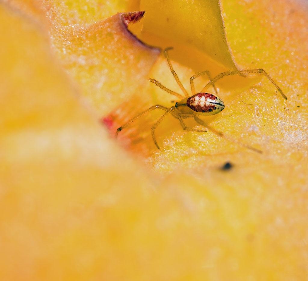 Foto/billede af Perleedderkop (Enoplognatha ovata)