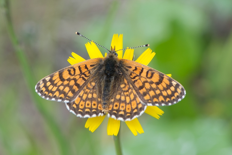 Foto/billede af Okkergul Pletvinge (Melitaea cinxia)