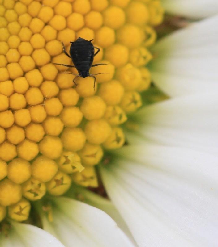 Foto/billede af Bladlus ubest. (Aphidoidea indet.)