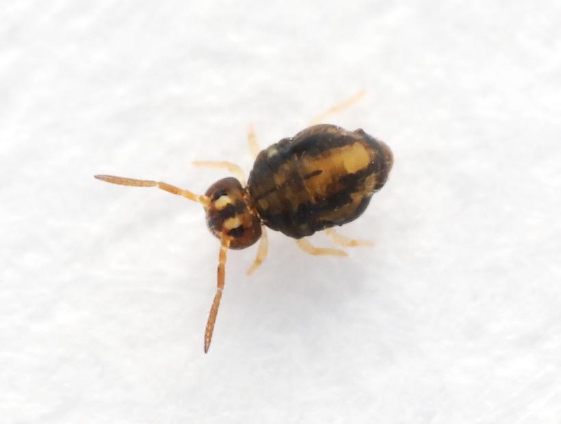 Foto/billede af Sminthurinus elegans (Sminthurinus elegans)