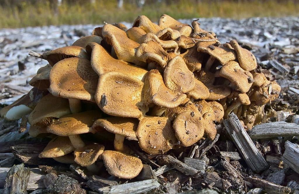 Foto/billede af Grøngul Skælhat (Pholiota gummosa)