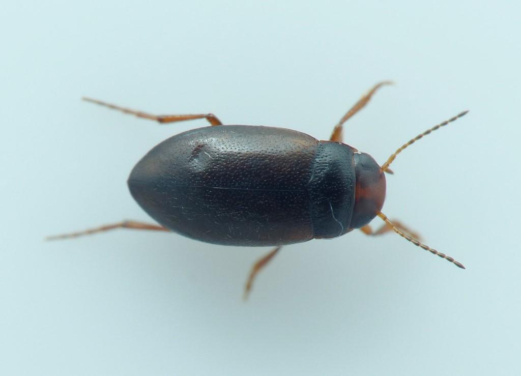 Hydroporus neglectus (Hydroporus neglectus)