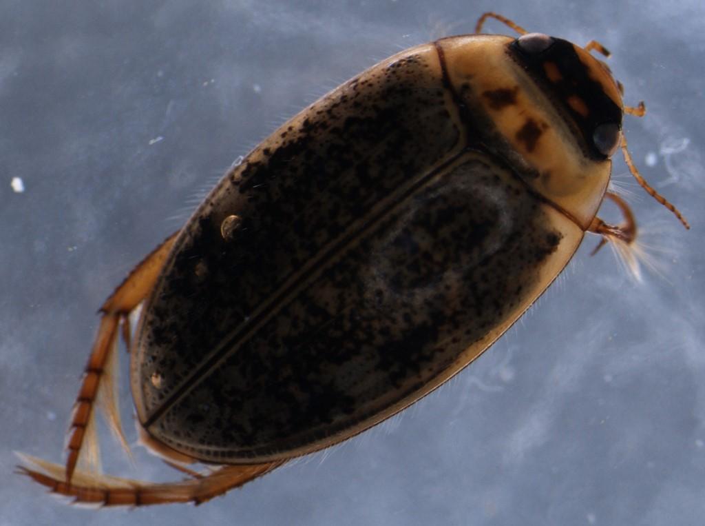 Agabus nebulosus (Agabus nebulosus)