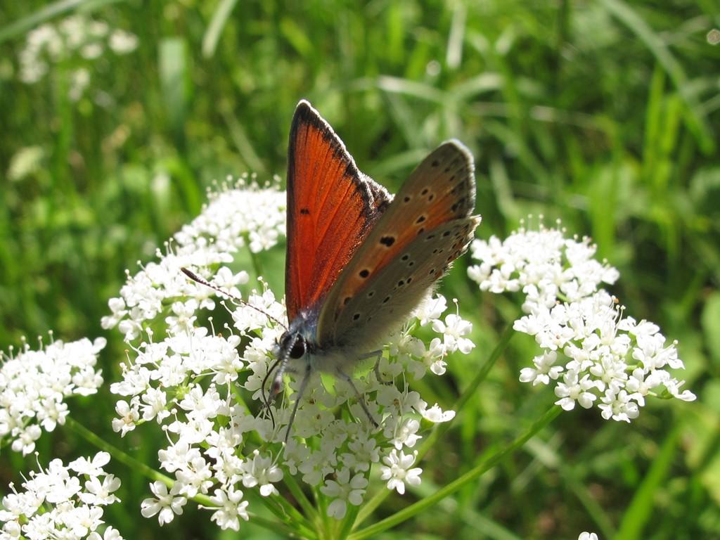 Foto/billede af Violetrandet Ildfugl (Lycaena hippothoe)