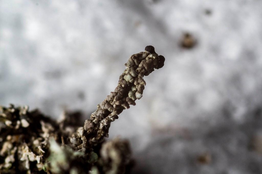 Furet Bægerlav (Cladonia cariosa)