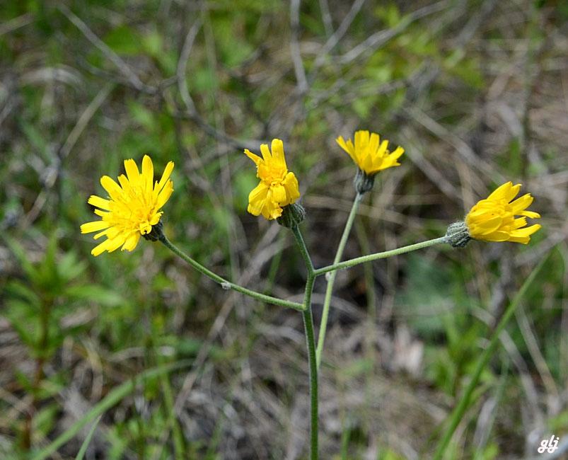 Foto/billede af Hieracium chlorellum (Hieracium chlorellum)