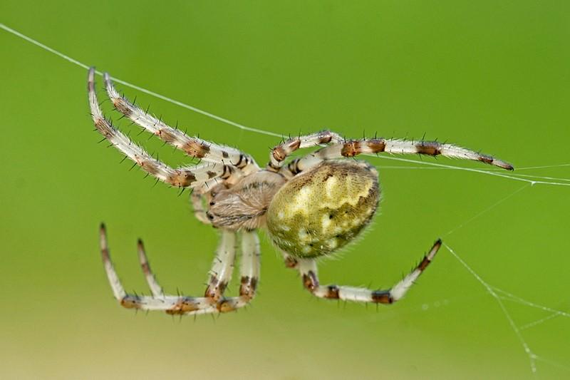 Kvadratedderkop (Araneus quadratus)