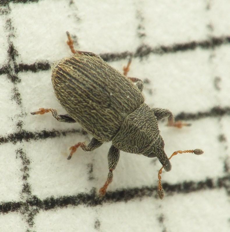 Foto/billede af Mecinus pascuorum (Mecinus pascuorum)