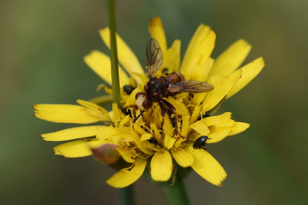 Foto/billede af Sicus ferrugineus (Sicus ferrugineus)