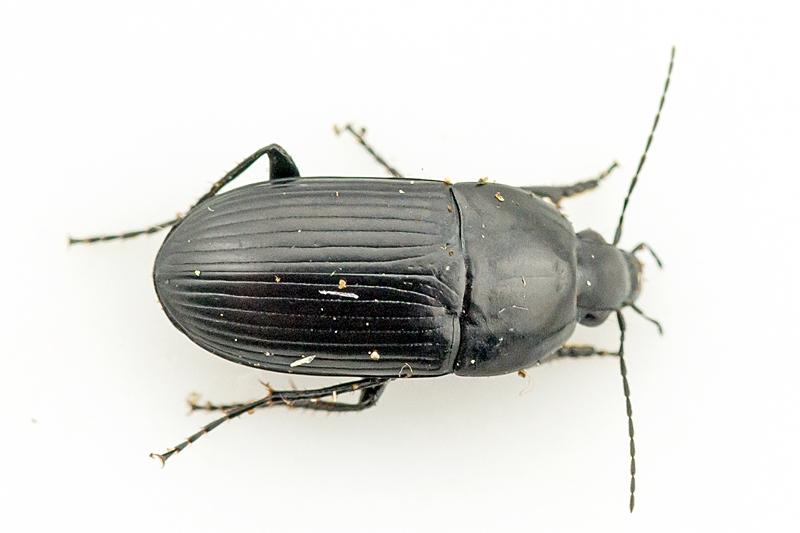 Foto/billede af Vandløber (Oodes helopioides)