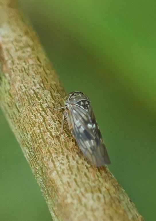 Foto/billede af Ørepilcikade (Idiocerus lituratus)