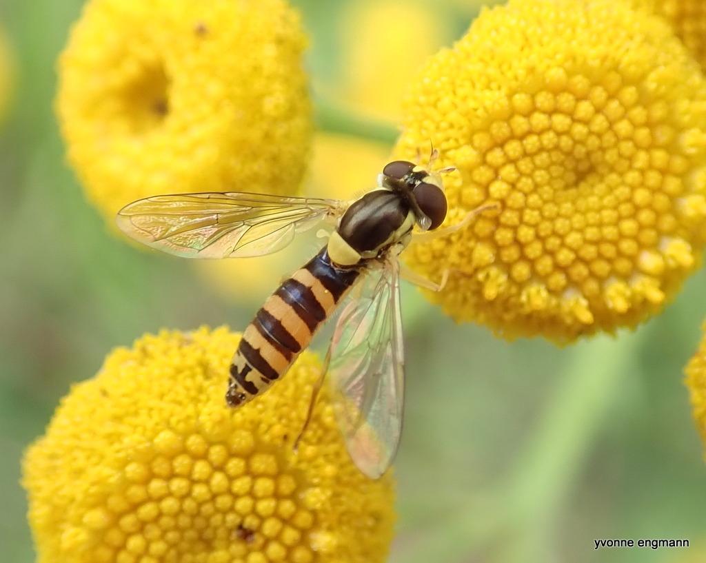 Kuglebærerflue sp. (Sphaerophoria sp.)