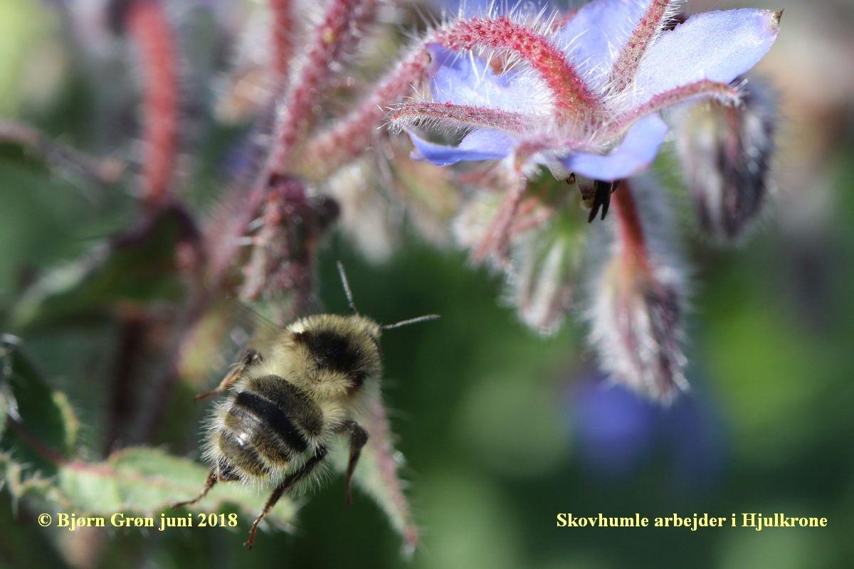 Foto/billede af Skovhumle (Bombus sylvarum)