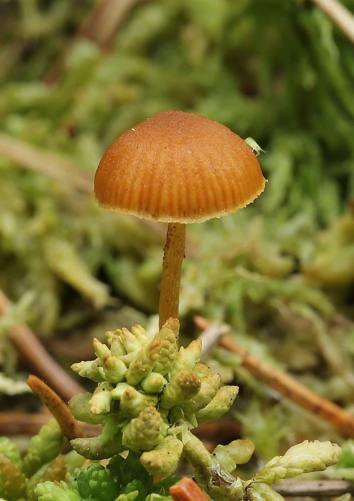 Galerina sphagnicola
