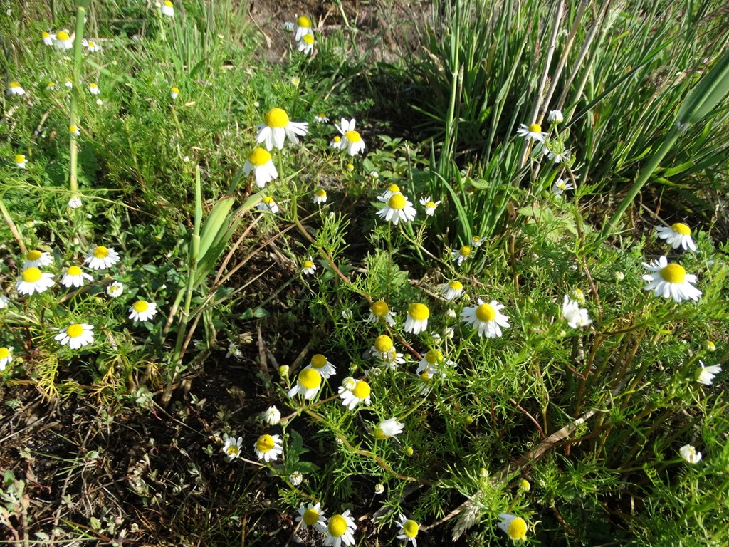 Foto/billede af Vellugtende Kamille (Matricaria recutita)