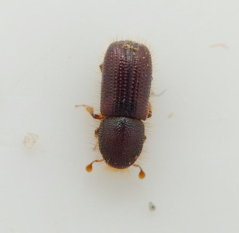Dryocoetes villosus (Dryocoetes villosus)