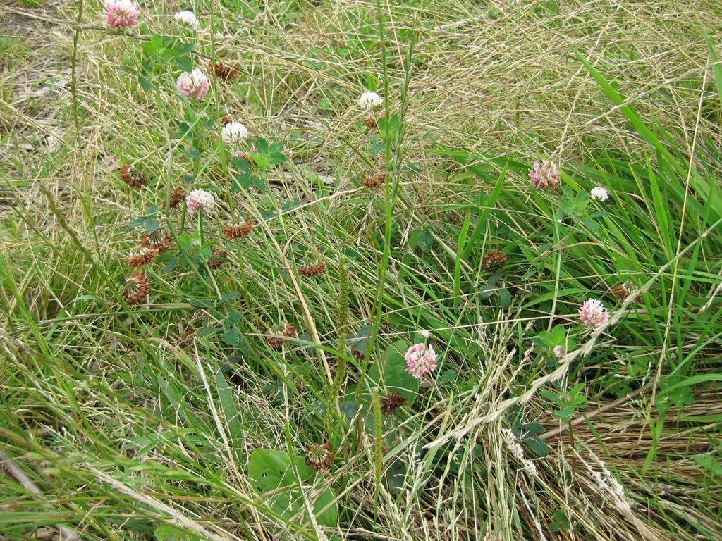 Foto/billede af Alsike-Kløver (Trifolium hybridum ssp. hybridum)