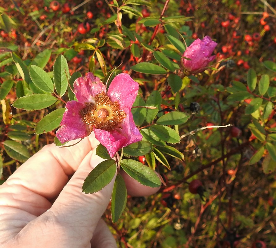 Foto/billede af Glansbladet Rose (Rosa virginiana)