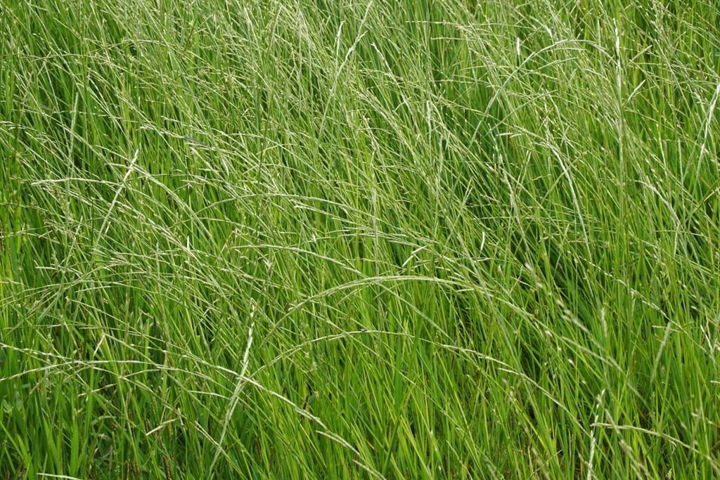 Manna-Sødgræs (Glyceria fluitans)